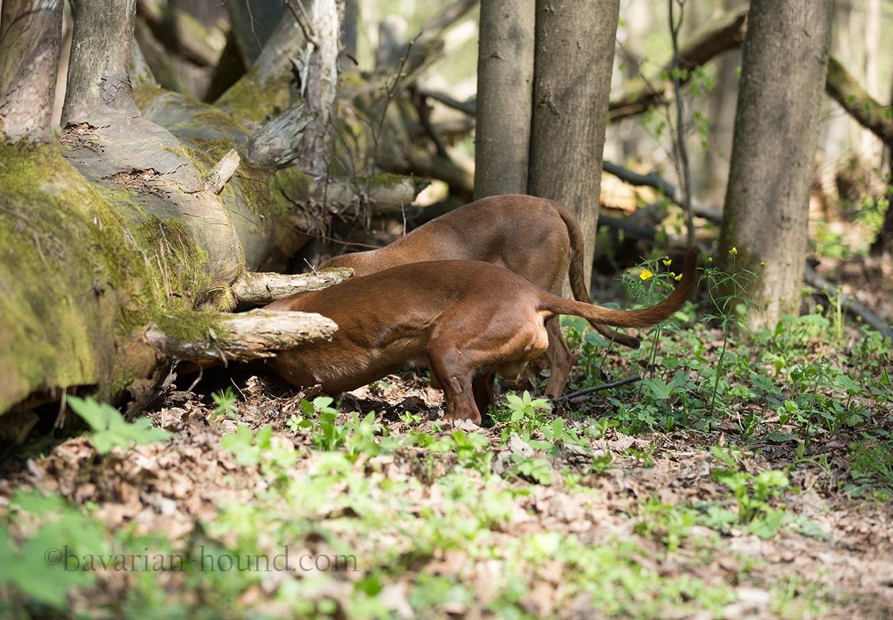 Дегельминтизация собак и щенков, описание, профилактика